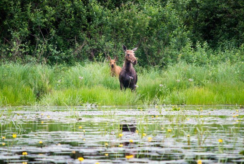 Лосиха с лосёнком.Фото Кондруховой Е.П.