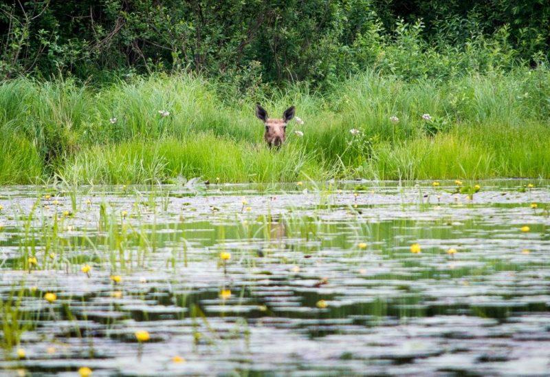 Чуткие уши. Фото Кондруховой Е.П.