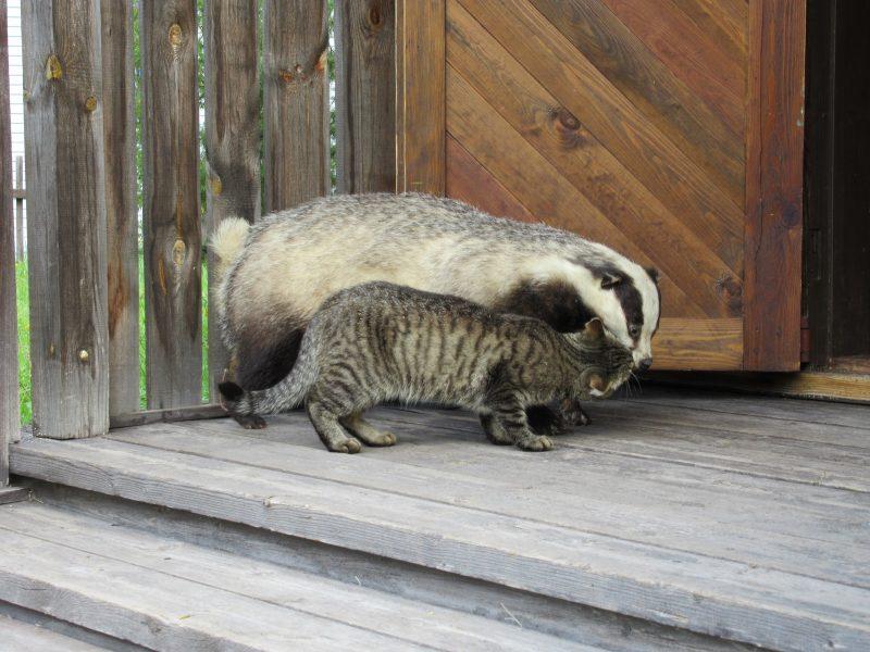 Кот и барсук. Фото Е. М. Тарасовой