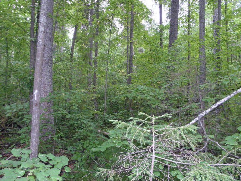 Елово-липовый лес - ППП-8. Фото Л.Г. Целищевой