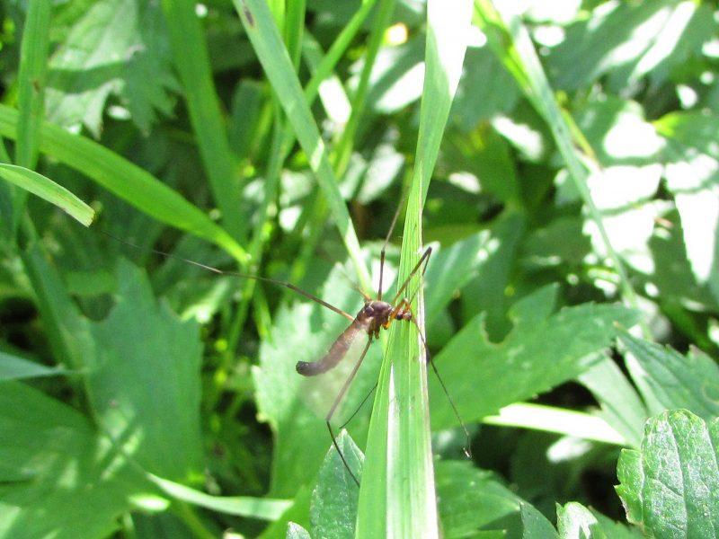 Комар-долгоножка. Фото Е. В. Рогожниковой