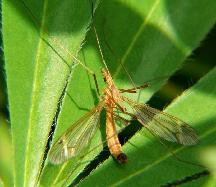 Комар-долгоножка. Фото Н. Н. Ходырева