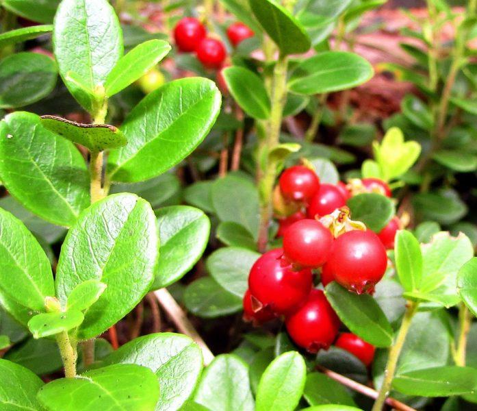 Плоды брусники. Фото Е. В. Рогожниковой