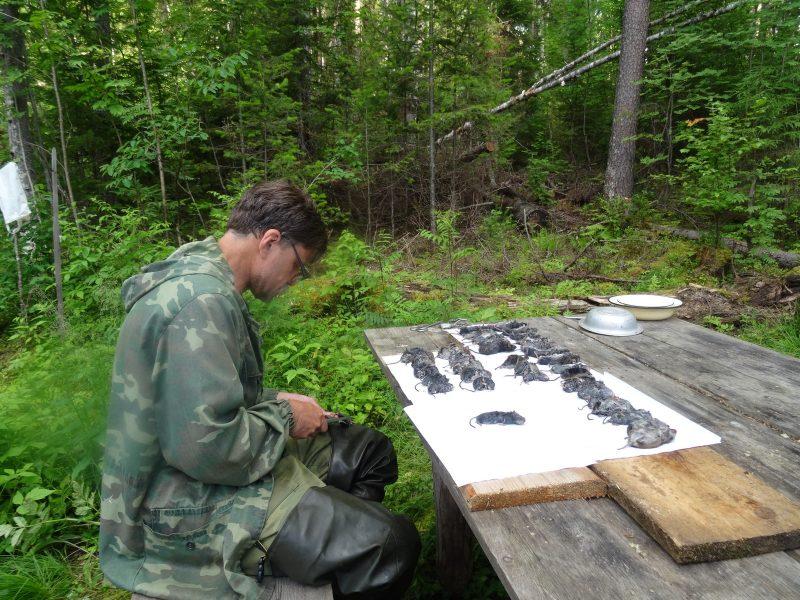 Учеты мышевидных грызунов. Фото Н.Ю.Киселевой