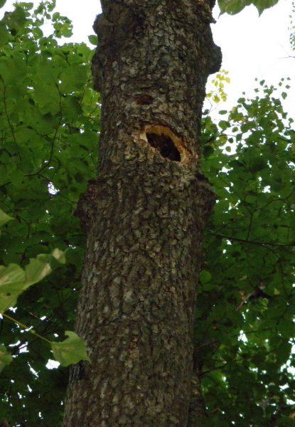 Дупло в сухом  дереве. Фото Л.Г. Целищевой