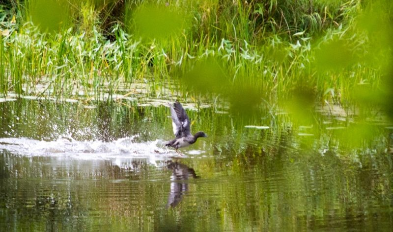 Гоголь. Молодая птица. Фото Ураевой Е.П.