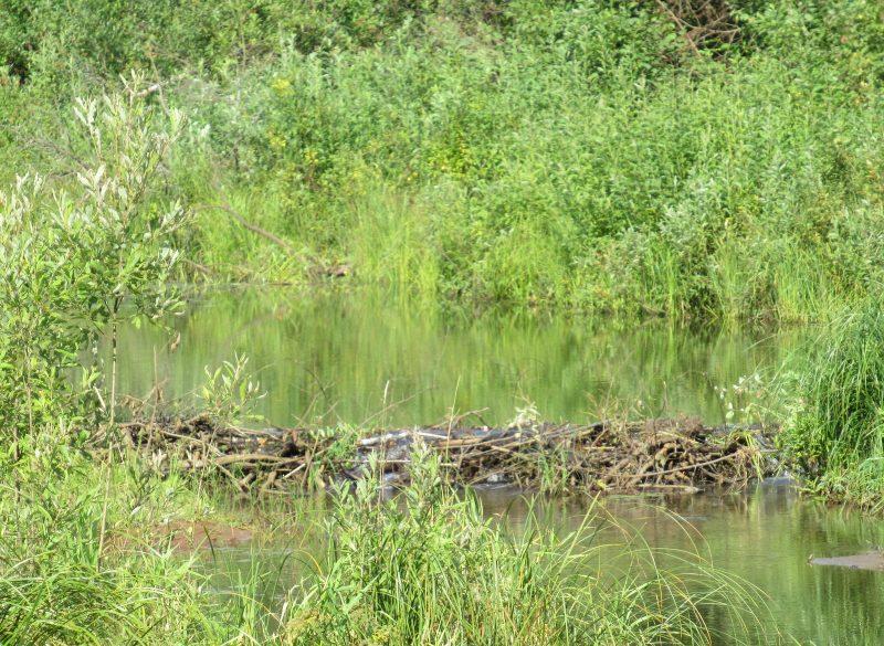 Новая плотина, возведенная летом. Фото С. В. Кондруховой