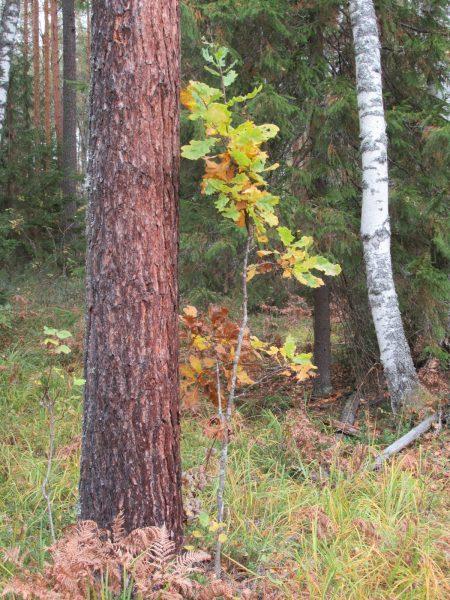 Сойкин дуб. Фото С.В. Кондруховой