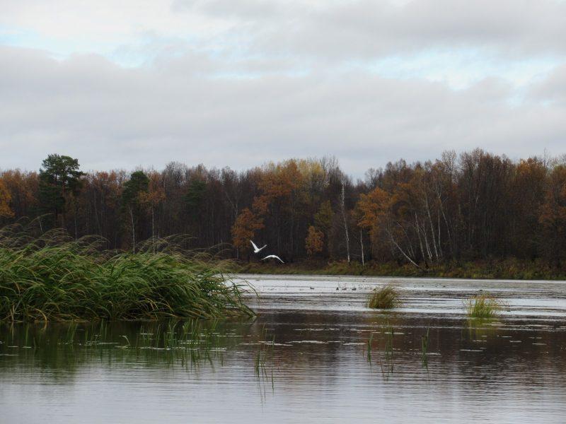 Лебеди-кликуны на оз. Кривое. Фото С. В. Кондруховой