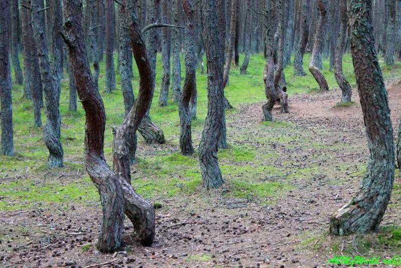 Танцующий лес на Куршской косе. Фото с сайта http. allmyworld.rukurshskaya-kosa-tantsuyuschij-les