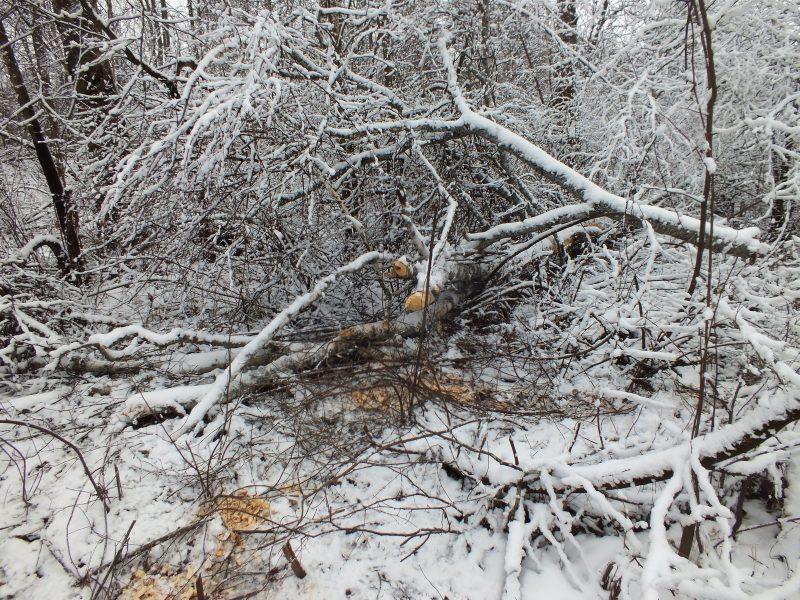 Бобровая лесосека. Фото С. В. Бакка