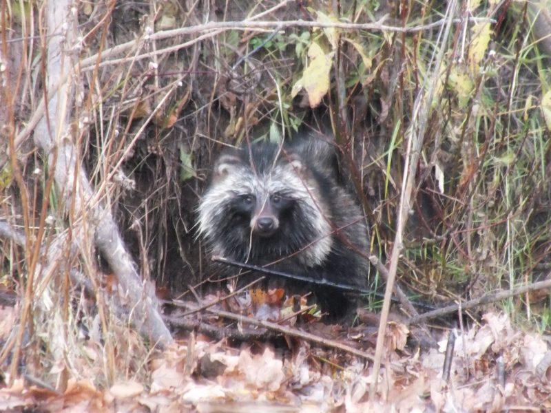 Енотовидная собака. Фото С. В. Бакки