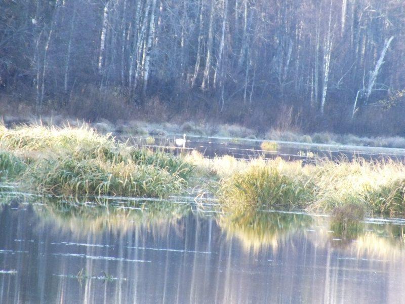 Лебедь-кликун на озере Кривом. Фото С.В.Бакка
