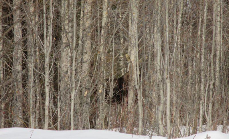 Лось среди деревьев. Фото И.Д. Боброва