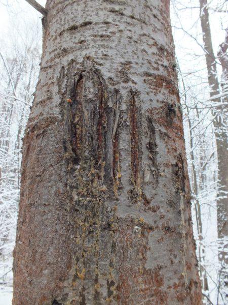 Медвежье дерево. Фото С.В. Бакка