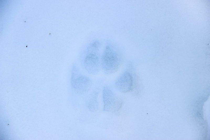 След волка. Фото Е. В. Князевой