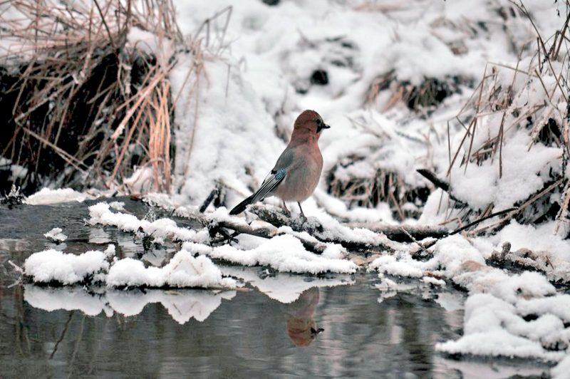 Сойка на плотине. Фото Н. Н. Ходырева