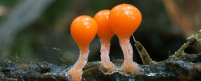 Миксомицеты (трихия). Фото А.А. Широких