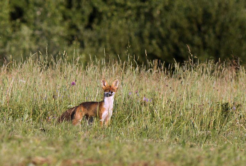 Лисица. Фото А. А. Широких