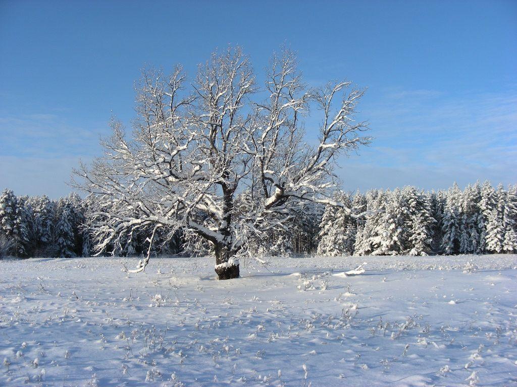 Магический дуб. Фото С. В. Кондруховой