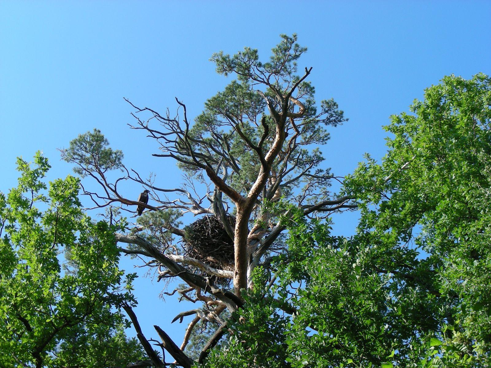 Орлан-белохвост у гнезда на сосне-великане. Фото С. В. Кондруховой