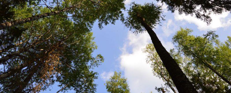 Старые осины. Фото Е. П. Лачоха