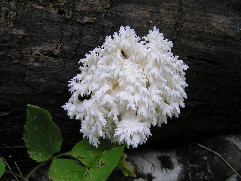 Ежевик коралловидный.Фото Л. Г. Целищевой