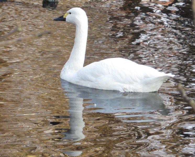 Лебедь-кликун. Фото Л. Г. Целищевой