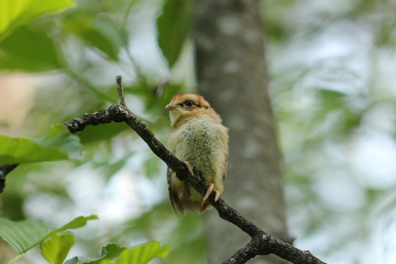 Выставка Птицы - Птенец рябчика. Фото Л.О. Псел