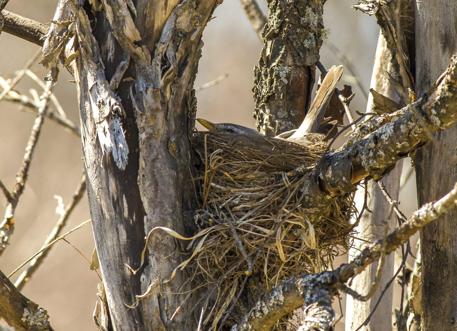 Выставка Вечный лес - Гнездо дрозда. Фото М.Р. Арасланова